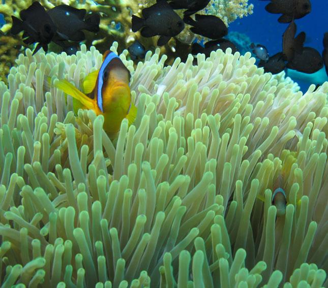 Klovnefisk i Egypt. (Foto: Robert Fiksdal)