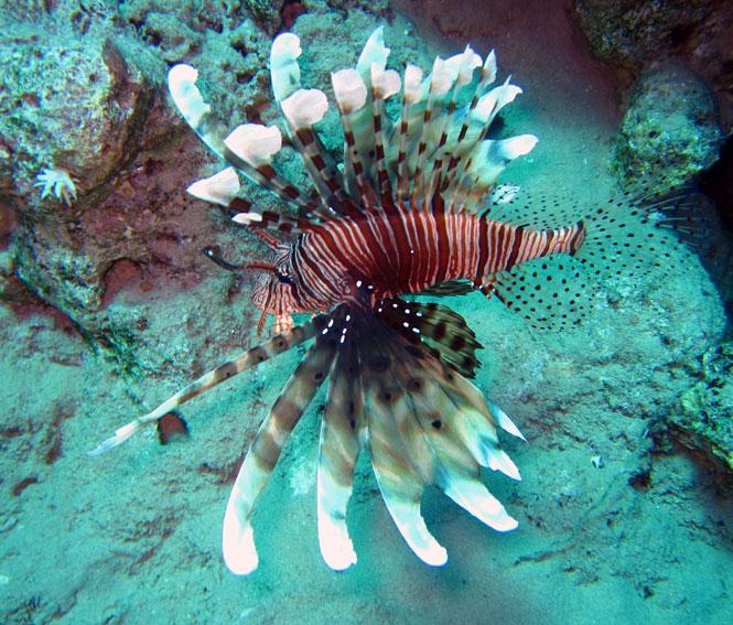 Egypt-Lionfish